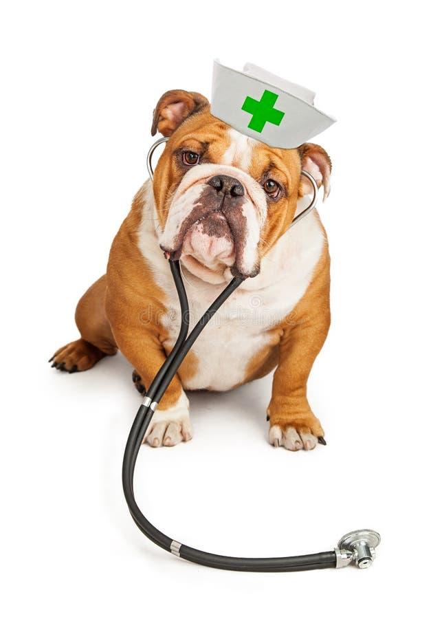 有听诊器的牛头犬护士 图库摄影