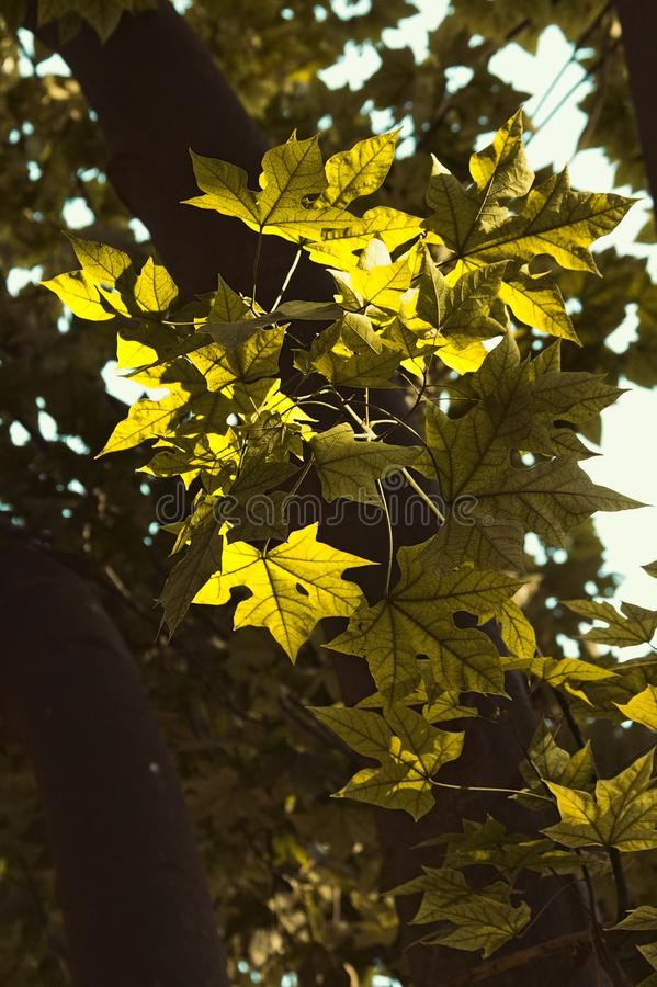 有启发性短石鳖使叶子变色 库存图片