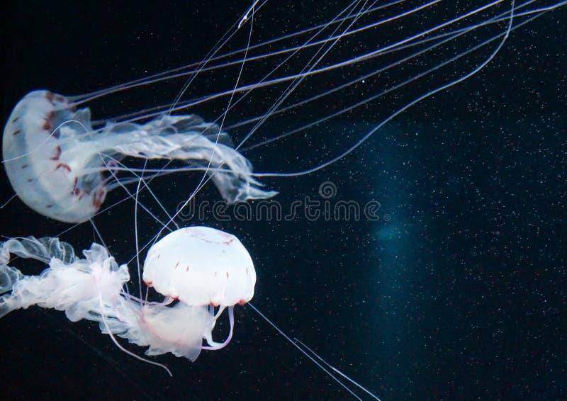 有启发性水母在海 图库摄影
