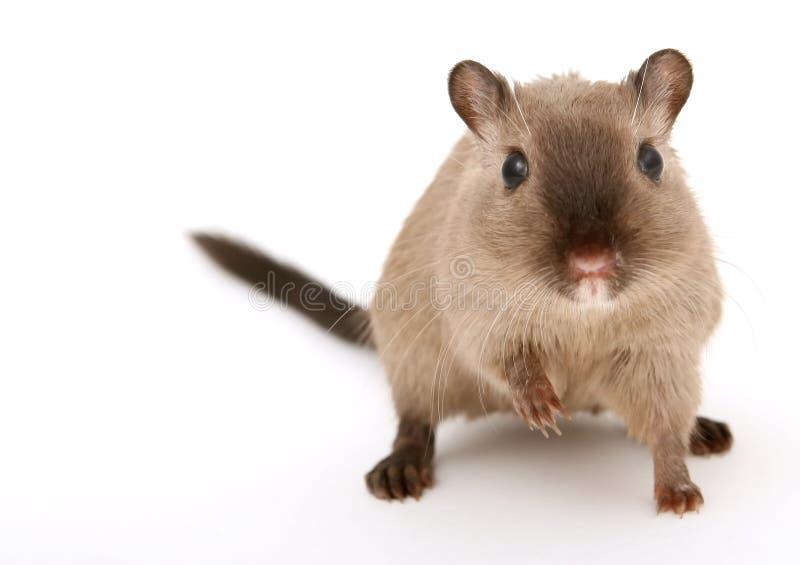 有吸引力的男性啮齿目动物年轻人 库存照片