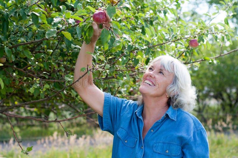 有吸引力的资深妇女采摘苹果 库存照片