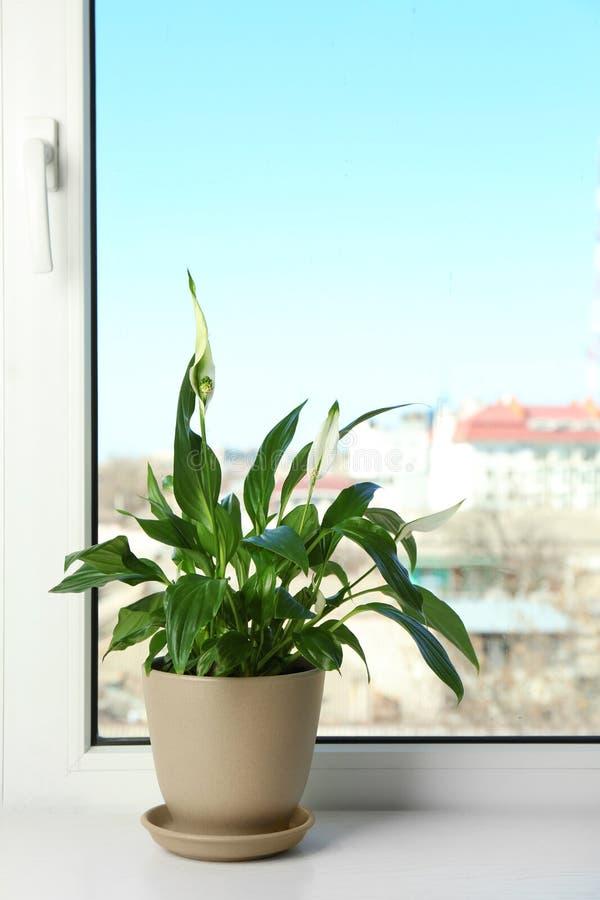 有和平百合的罐在窗台 议院植物 库存照片