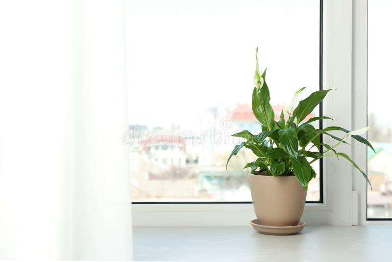 有和平百合的罐在窗台 议院植物 免版税库存照片