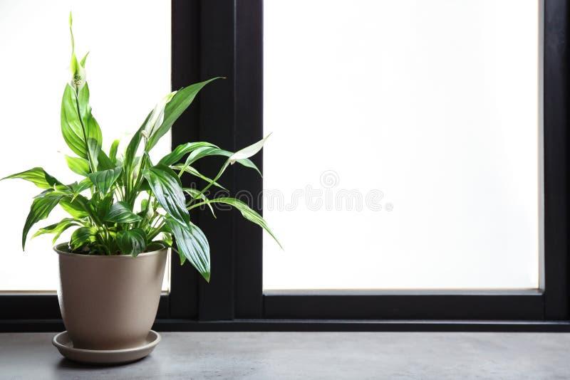 有和平百合的罐在窗台 议院植物 库存图片
