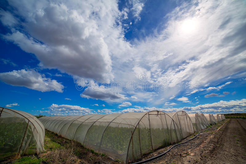 有唐莴苣菜的温室在剧烈的蓝天下 库存图片