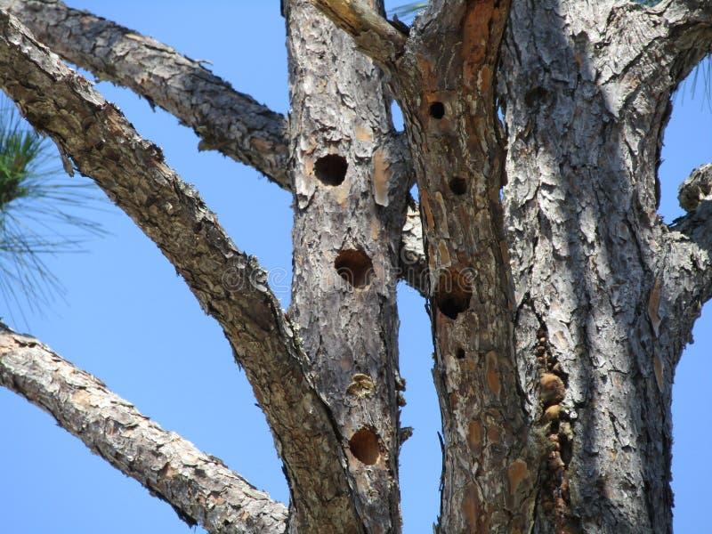有啄木鸟孔的松树 库存图片