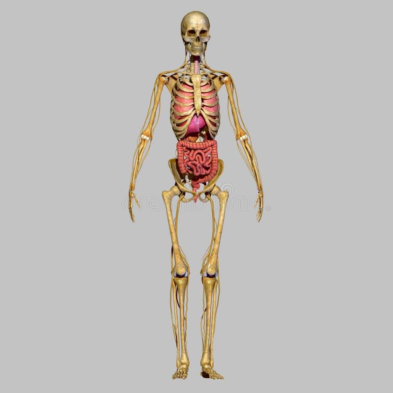 有器官的骨骼 库存例证