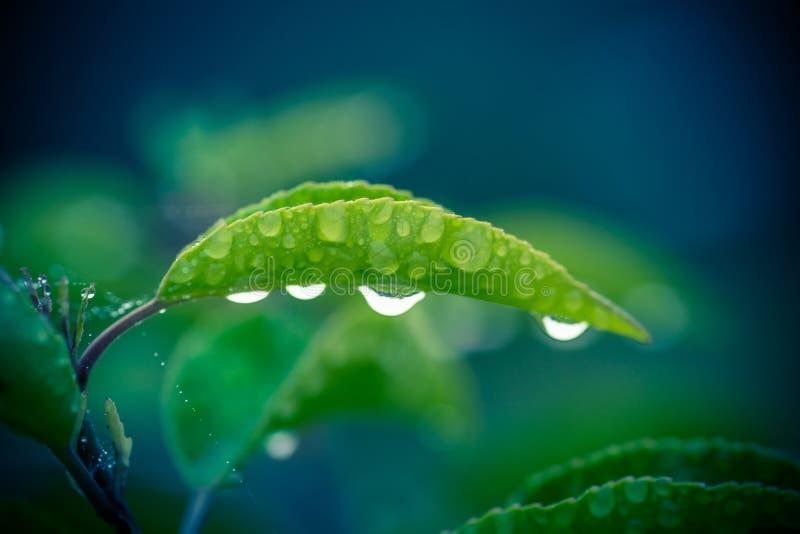 有四滴雨珠的绿色叶子 免版税库存照片