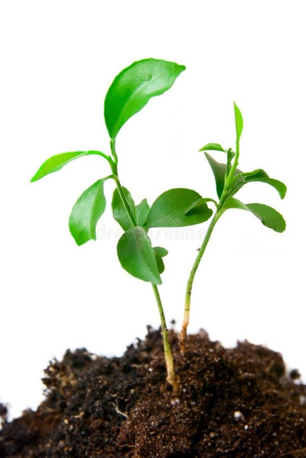 有土的年幼植物 免版税图库摄影
