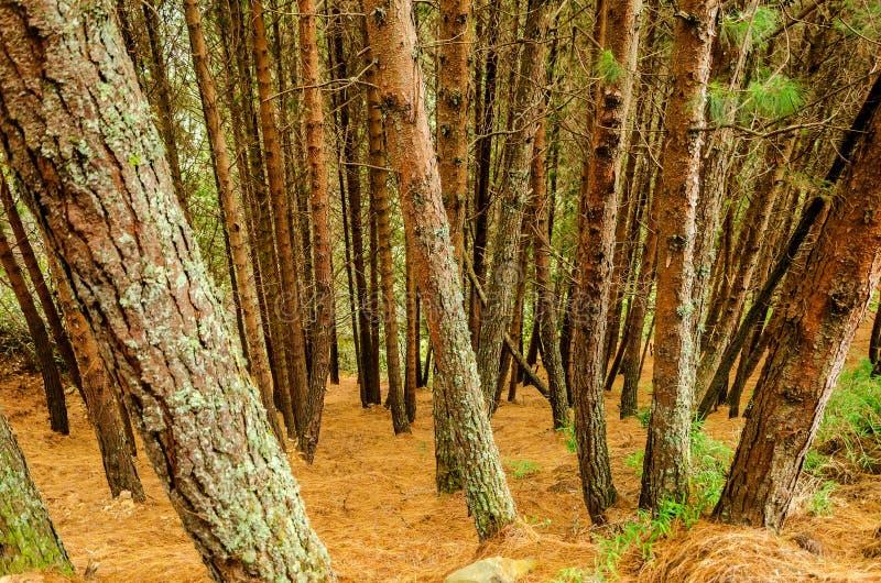 密集的杉树森林 库存照片