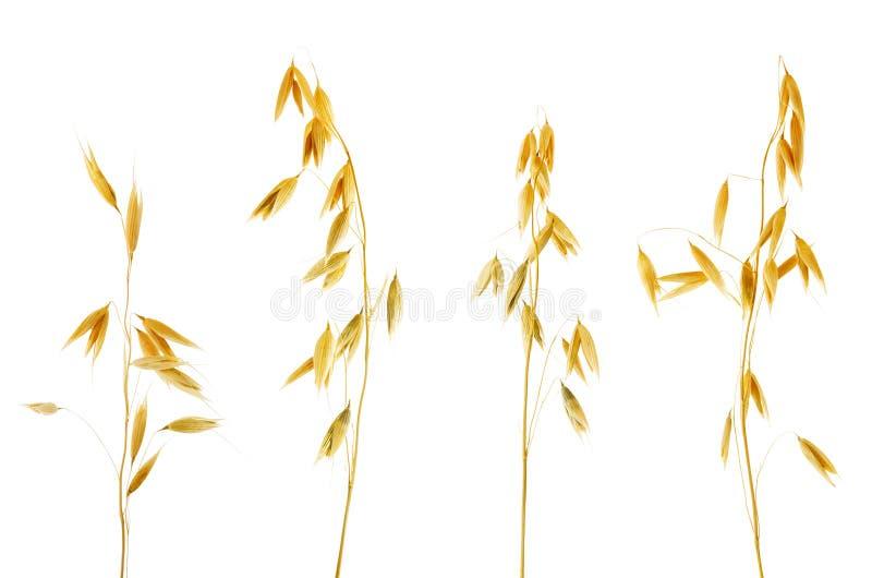 有在白色背景隔绝的五谷的燕麦耳朵 库存照片