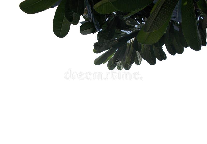 有在白色背景隔绝的分支的热带叶子,顶视图背景的绿色叶子 向量例证