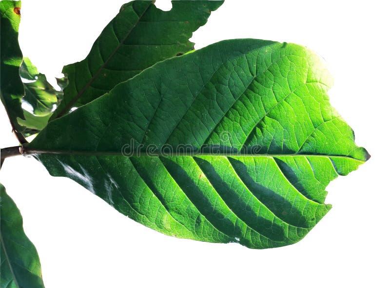 有在白色背景隔绝的剪影射击的分支热带叶子叶子 库存照片