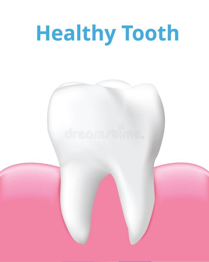 有在白色背景隔绝的胶的健康牙,现实传染媒介 库存例证