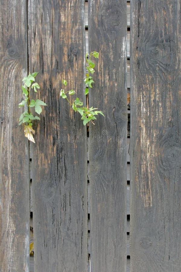 有垂直的植物的老灰色木篱芭 库存照片
