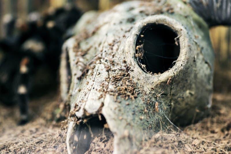 有垫铁的头骨到沙漠里 在沙子的干燥山羊头骨在沙漠 免版税库存图片