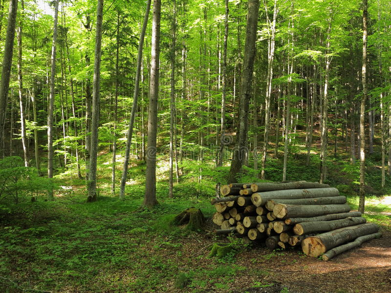 有堆的山毛榉树丛日志风景 免版税图库摄影