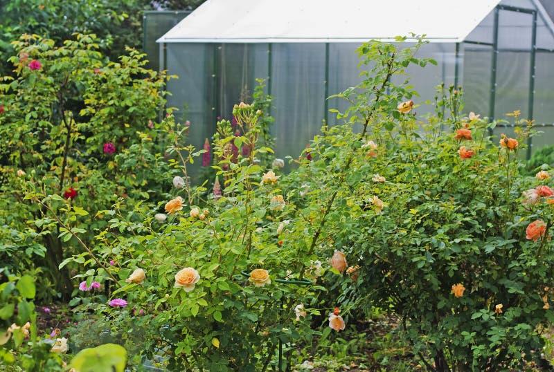 有多彩多姿的玫瑰的花圃在温室背景 库存图片