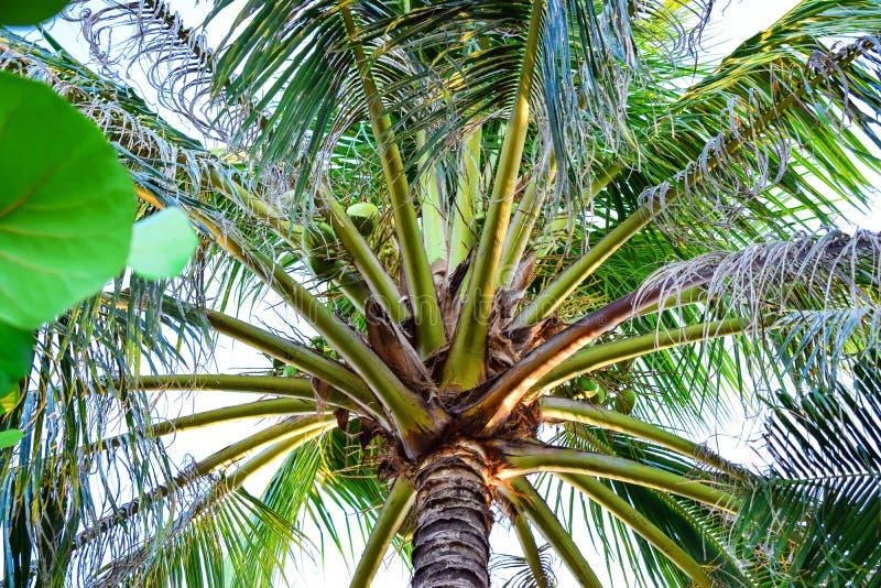 有大叶子和椰子的令人惊讶的绿色棕榈在热带 库存照片