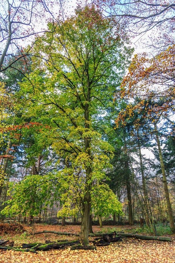 有大椴树的,椴树属cordata森林,在美好的温暖的秋天颜色的秋天期间 库存图片