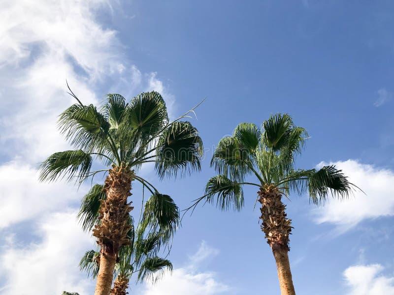 有大绿色叶子的高热带南部的沙漠棕榈和以蓝天为背景的强的强的树干与白色 库存图片