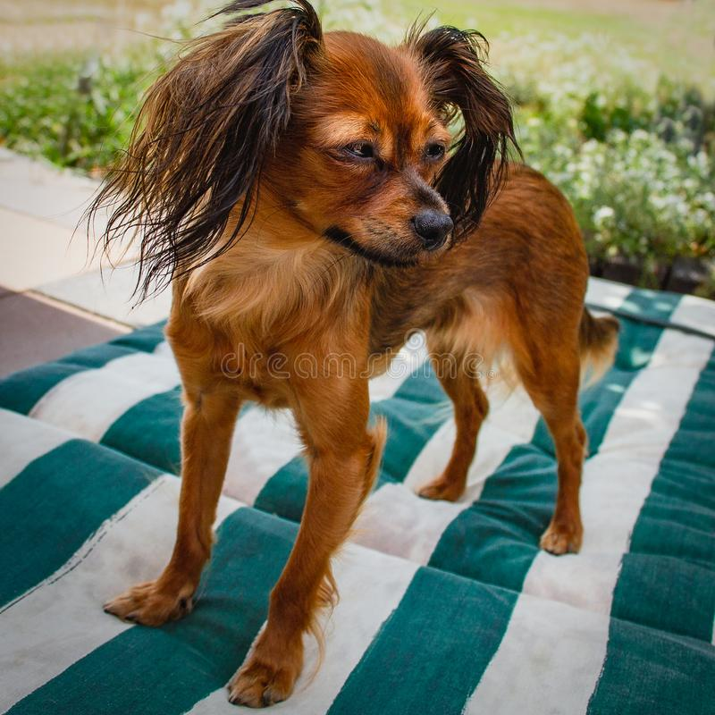 有大耳朵的逗人喜爱的狗Russkiy玩具 免版税库存照片