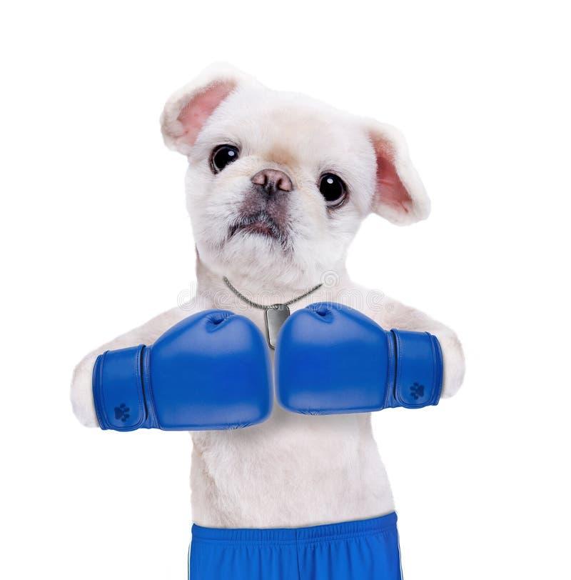 有大蓝色手套的狗拳击手 免版税库存照片