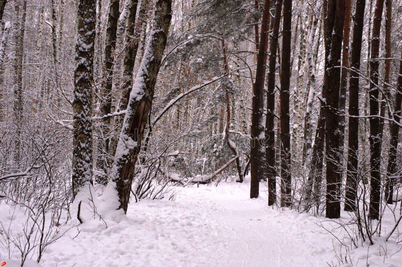 有大雪漂泊的冬天森林 库存照片