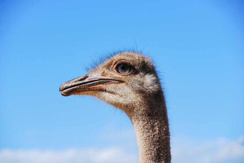有天空蔚蓝的驼鸟头 图库摄影