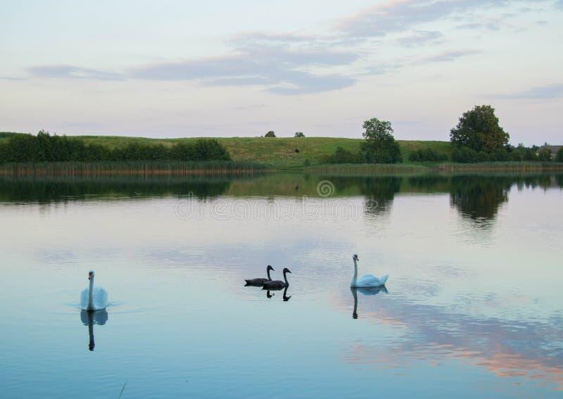 有天鹅的明亮的湖用茅草盖森林和桥梁晴朗的夏日 库存图片