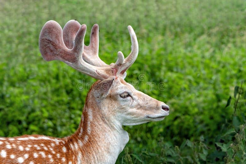 有天鹅绒的小鹿大型装配架盖了鹿角,沃里克郡,英国 免版税库存图片