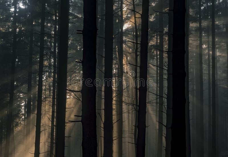 有太阳光芒的云杉的森林 库存图片