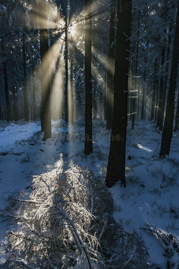 有太阳光芒的云杉的森林 免版税库存照片