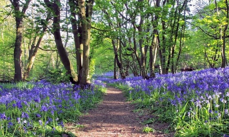 有太阳光铸件阴影的道路通过会开蓝色钟形花的草森林, Badby森林北安普敦郡 免版税库存图片