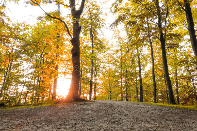 有太阳的金黄森林发出光线在秋季 免版税库存照片