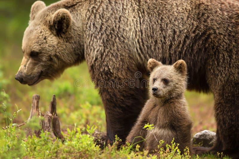 有她的崽的欧亚棕熊母亲 免版税图库摄影