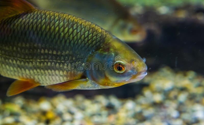 有它的面孔的共同的路德在特写镜头,通过欧亚大陆水很好延长鱼 免版税图库摄影