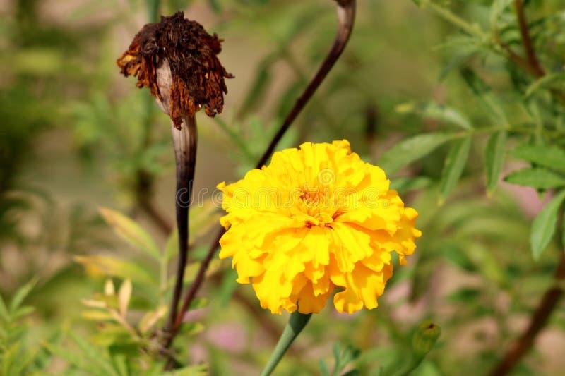 有密集的黄色瓣和完全地干黑褐色花的墨西哥万寿菊或Tagetes erecta植物在背景中 免版税库存照片