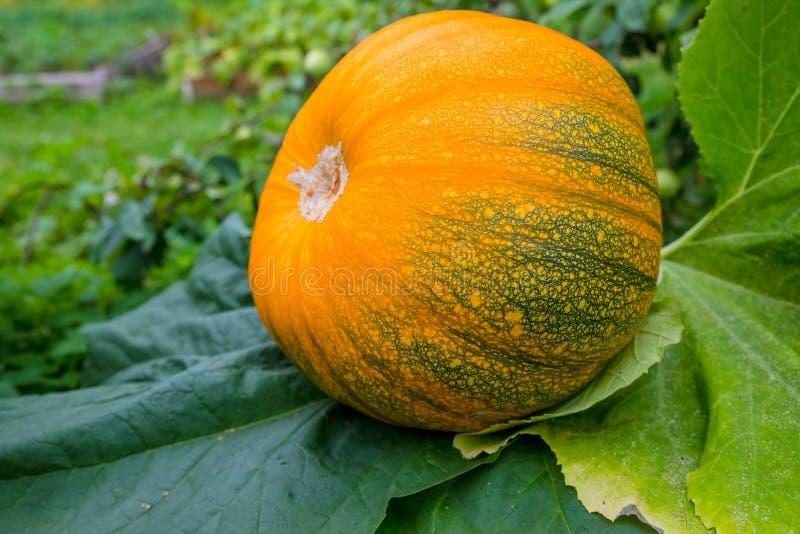 有富有的收获的南瓜植物在准备好的领域被收获 农厂食物 素食主义,素食主义者 大桔子 库存照片