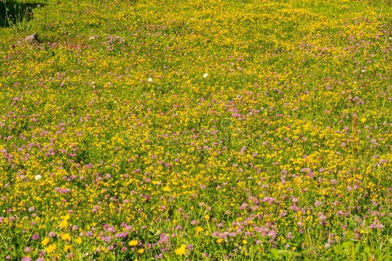 有小和五颜六色的野花领域的风景阿尔卑斯 图库摄影