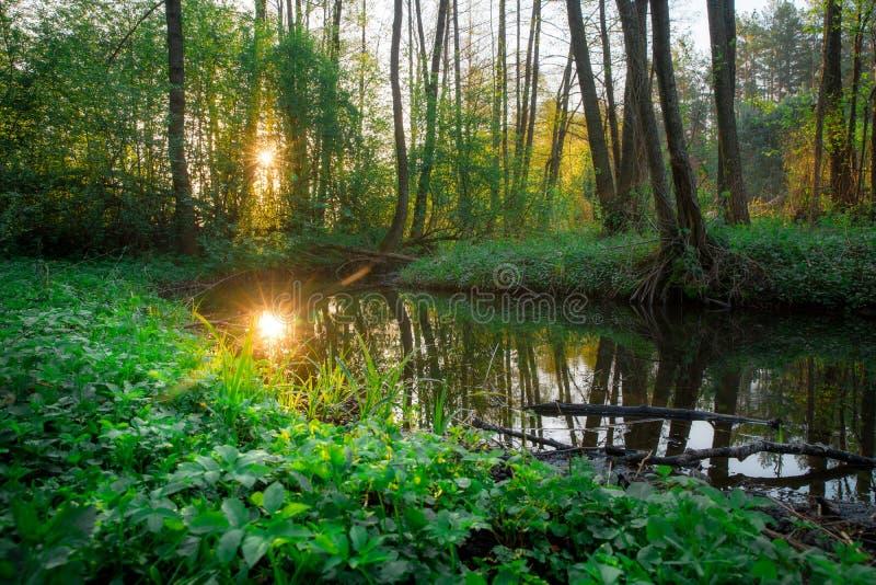 有小河的绿色森林森林 夏天日出在美丽的森林里 库存图片
