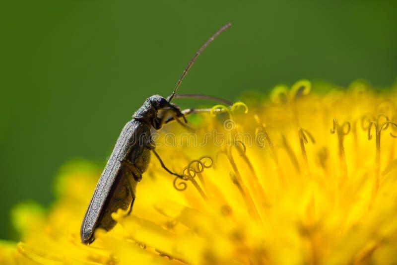 有小臭虫的,宏观照片黄色蒲公英开花 免版税库存图片