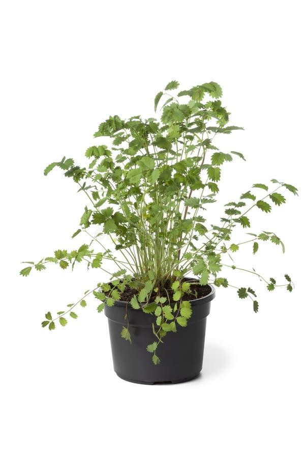 有小burnet植物的罐 库存照片