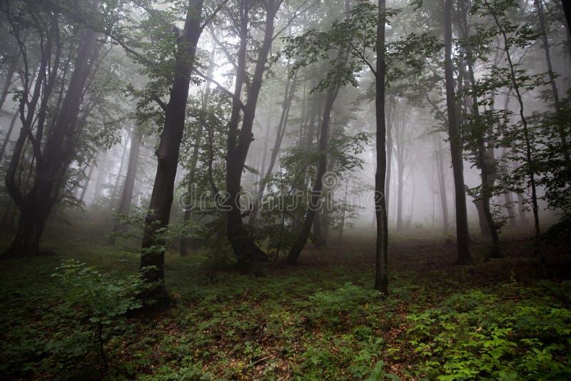 有山毛榉、冷杉和杉木的有雾的森林 多雨天气 全国P 免版税库存图片