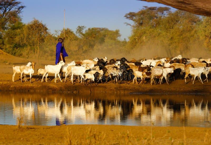 有山羊牧群的马塞人牧羊人  免版税库存照片