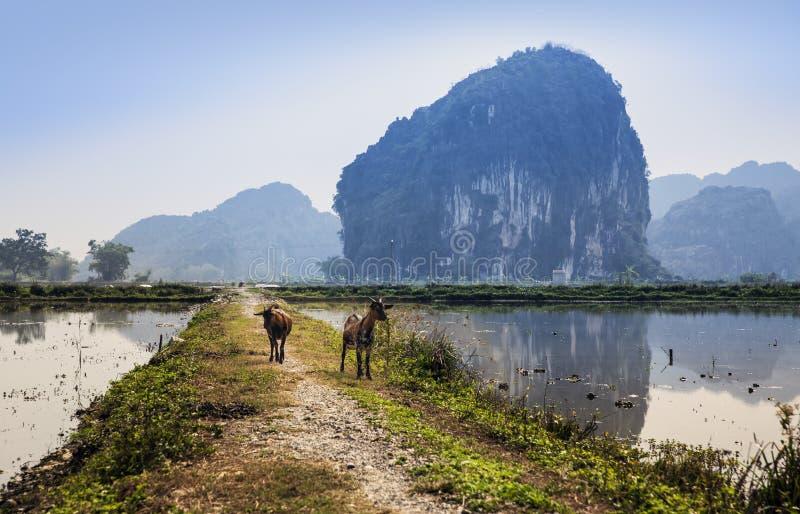 有山羊的乡下公路在Ninh Binh,越南。 免版税图库摄影
