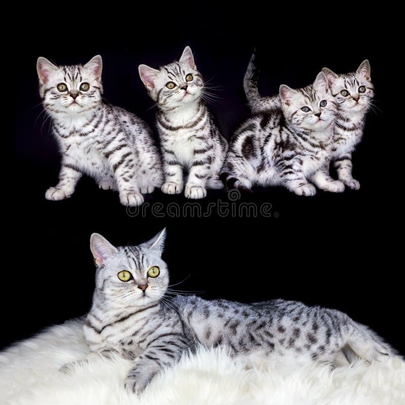 有巢平纹小猫的母亲在黑背景 库存图片