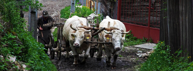 有工作在一个小村庄的黄牛的人在罗马尼亚 库存图片