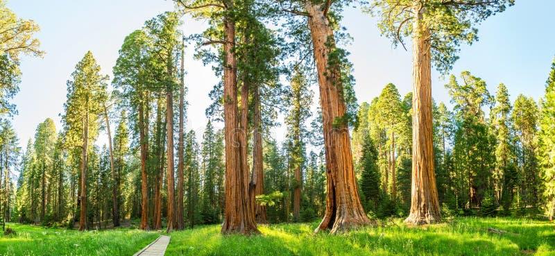 有巨型杉树森林全景的树丛 免版税图库摄影