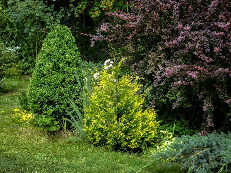 有常青树的美丽的环境美化的庭院 例子用紫色伏牛花,西部金钟柏,杜松黄色针  库存照片